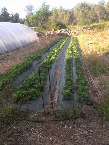 6 lignes de fraisiers