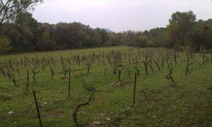 au printemps, le terrain principal, ... vignes abandonnées
